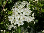 Hawthorn (Crataegus monogyna)